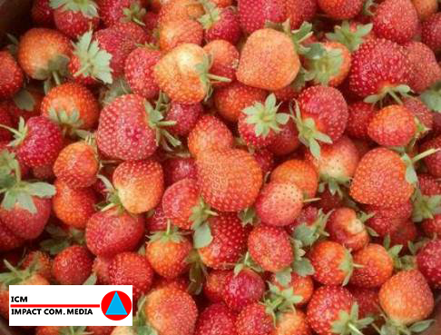 La production de fraise à Niamey