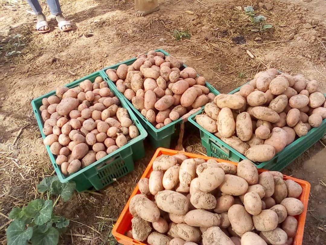 16 milliards de FCFA dépensés pour la consommation de pomme de terre à Niamey